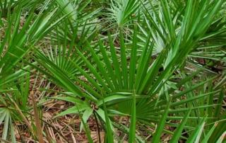 צמחי מרפא - סרנואה